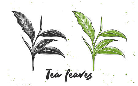 Vector engraved style illustration for posters, decoration and print. Hand drawn sketch of tea leaves in monochrome and colorful. Detailed vegetarian food drawing.