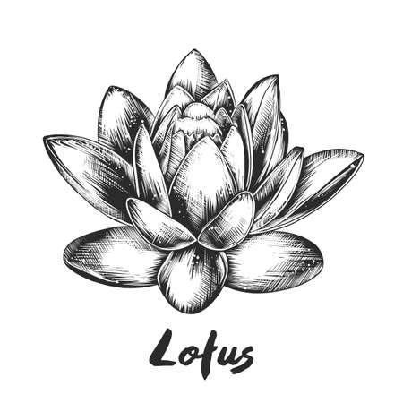 Vector engraved style illustration for posters, decoration and print. Hand drawn sketch of lotus in monochrome isolated on white background. Detailed vintage woodcut style drawing. Ilustração