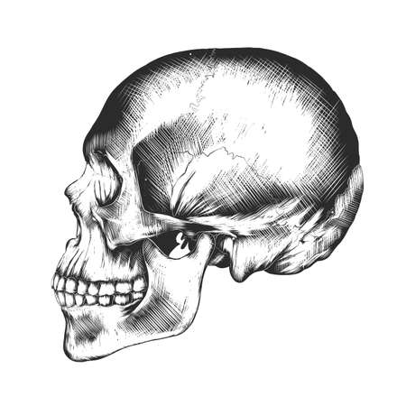 Vector engraved style illustration for posters, decoration and print. Hand drawn sketch of human skull in monochrome isolated on white background. Detailed vintage woodcut style drawing. Skull