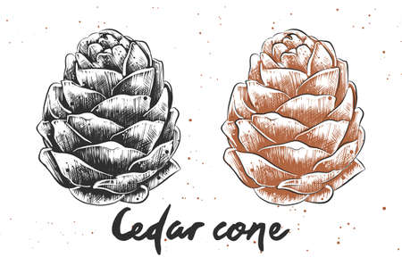 Vector engraved style illustration for posters, decoration and print. Hand drawn sketch of cedar cone in monochrome and colorful. Detailed vegetarian food drawing.