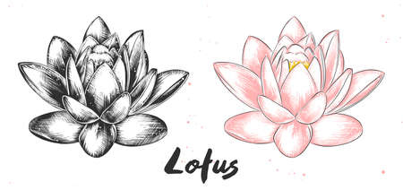 Vector engraved style illustration for posters, decoration and print. Hand drawn sketch of lotus flower in monochrome and colorful. Detailed vegetarian food drawing. Иллюстрация
