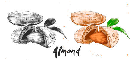 Vector engraved style illustration for posters, decoration, packaging and print. Hand drawn sketch of almond nuts in monochrome and colorful. Detailed etching food drawing.