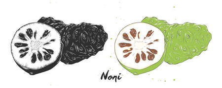 Vector engraved style illustration for posters, decoration, packaging and print. Hand drawn sketch of noni fruit in monochrome and colorful. Detailed vegetarian food drawing.
