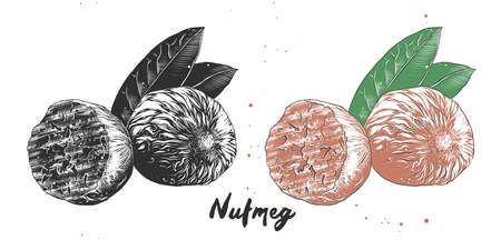 Vector engraved style illustration for posters, decoration, packaging and print. Hand drawn sketch of nutmeg nut in monochrome and colorful. Detailed vegetarian food drawing.