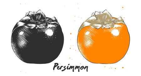 Vector engraved style illustration for posters, decoration, packaging and print. Hand drawn sketch of persimmon fruit in monochrome and colorful. Detailed vegetarian food drawing.