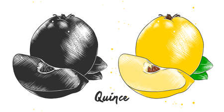 Vector engraved style illustration for posters, decoration, packaging and print. Hand drawn sketch of quince fruit in monochrome and colorful. Detailed vegetarian food drawing. Иллюстрация