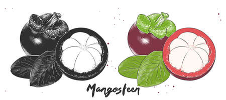 Vector engraved style illustration for posters, decoration and print. Hand drawn etching sketch of mangosteen in monochrome and colorful. Detailed vegetarian food linocut drawing. Illustration