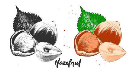 Vector engraved style illustration for posters, decoration and print. Hand drawn etching sketch of hazelnuts in monochrome and colorful. Detailed vegetarian food linocut drawing. Иллюстрация