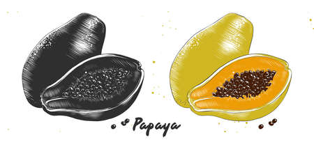 Vector engraved style illustration for posters, decoration and print. Hand drawn etching sketch of papaya in monochrome and colorful. Detailed vegetarian food linocut drawing.