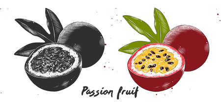 Vector engraved style illustration for posters, decoration and print. Hand drawn etching sketch of passion fruit in monochrome and colorful. Detailed vegetarian food linocut drawing.