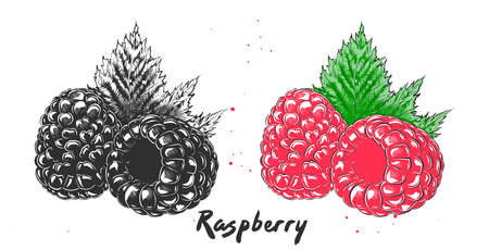 Vector engraved style illustration for posters, decoration and print. Hand drawn etching sketch of raspberry in monochrome and colorful. Detailed vegetarian food linocut drawing.