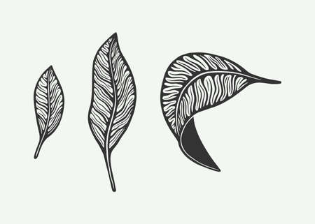 Retro vintage coffee or tea leafs. Can be used for badge or emblem design. Line woodcut style. Monochrome Graphic Art. Vector Illustration.