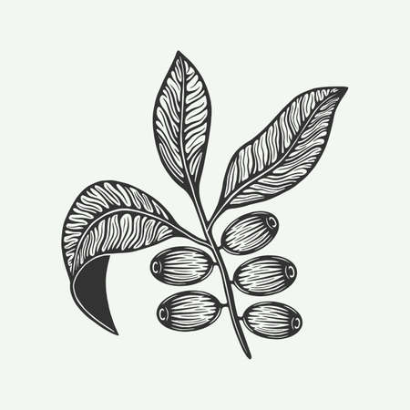 Bunch of coffee leaf beans. Vintage retro illustration in woodcut style.