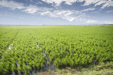 Reisfeld grünes Gras blauer Himmel Wolke bewölkter Landschaftshintergrund