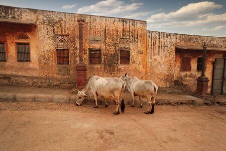 India. Cows walk along Jaipur Street