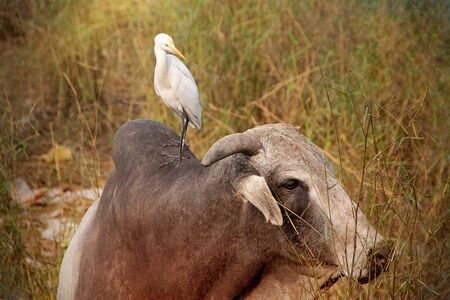 India. A cow walks in a dump with a bird on its back