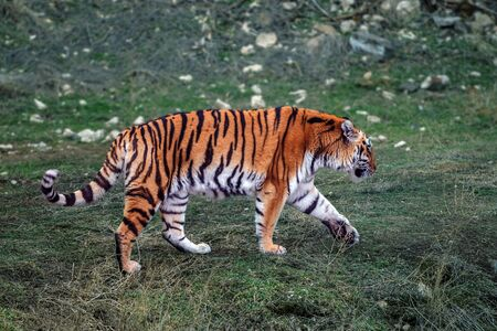 Amur or Ussuri tiger on the grass. The northernmost and largest tiger. It is listed in the Red Book of the International Union for Conservation of Nature since it is an endangered species.