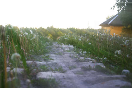 Overgrown with dandelions, the old stony path to the house, in the sunlight, against the background of the forest.