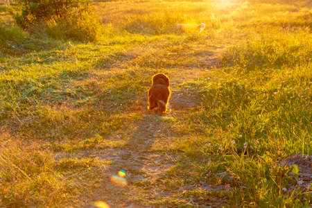 The dog runs in the sunlight on a green field.