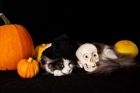 Happy Halloween. Maine Coon cats and human skull lies next to the pumpkin.