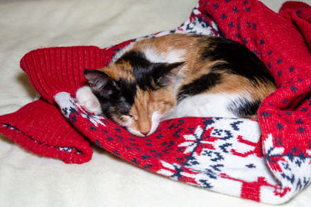 Merry Christmas. a tricolor kitten sleeps in a Santa hat on a Christmas sweater, on a white background. 免版税图像
