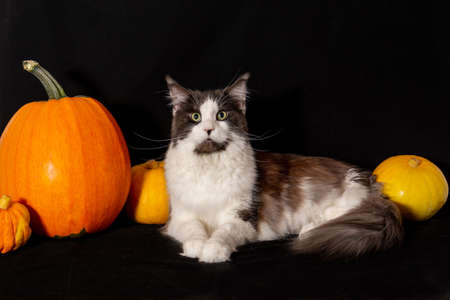 Happy Halloween. Maine Coon cats lies next to the pumpkin.