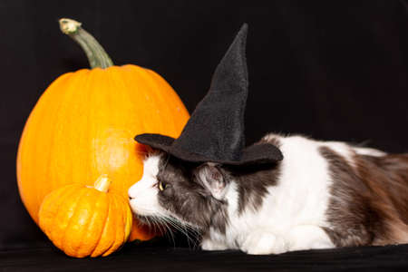 A Maine Coon cat in a black witch hat is lying next to a pumpkin.