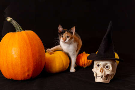 three-furred kitten in a black hat next to a pumpkin. Happy Halloween.