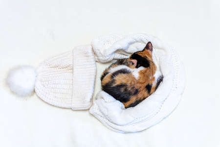 Merry Christmas. a tricolor kitten sleeps in a hat and a white blanket on a white background.