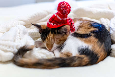 Merry Christmas. a tricolor kitten sleeps in a Santa hat, on a white background. 免版税图像