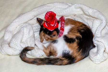 Merry Christmas. a tricolor kitten sleeps in a Santa hat and a white blanket on a white background. 免版税图像