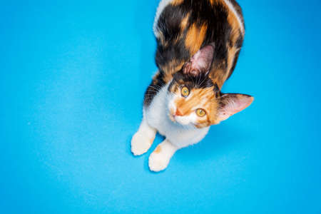a tricolor kitten on a blue background looks at the camera. the view from the top.