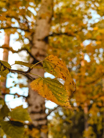 Autumn landscape, yellow birch leaves on the background of trees