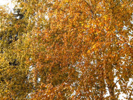 Autumn background with golden birch leaves on tree branches.