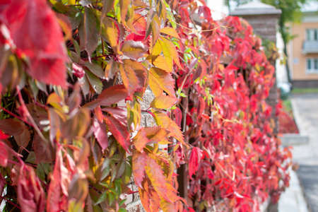 Autumn, a fence covered with red-leaved bindweed. Imagens