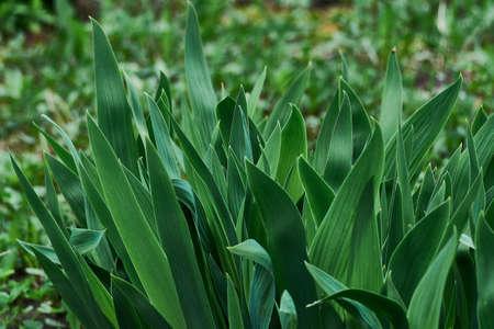 perennial onion Allium nutans in a flower bed.