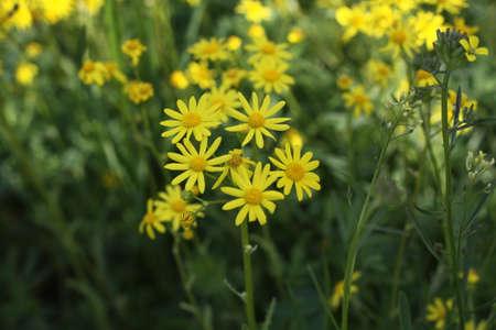 yellow wildflowers: Beautiful yellow wildflowers Stock Photo