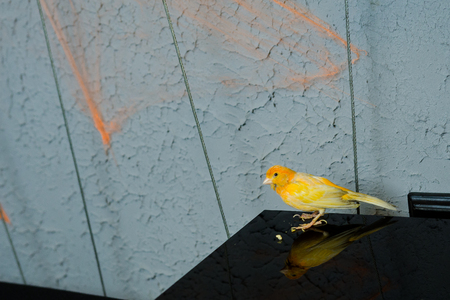 Yellow canary bird on the table in restaurant Stock Photo