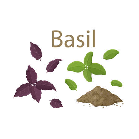 Set of fresh basil leaves and dried spice on white background. Cartoon hand drawn flat illustration for food, cooking. Isolated leaves of green and purple plant. Famous ingredient of Italian cuisine  イラスト・ベクター素材