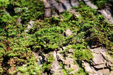 Textured tree bark with moss. Closeup of green lichen in forest. Horizontal background, banner, poster. Template for eco orgainic design. Wild nature, sunlight