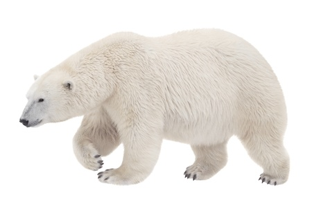polar: bear walking on a white background