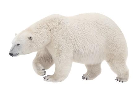 ours: supporter de marcher sur un fond blanc