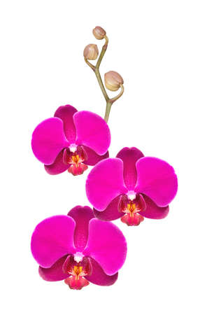carpel: flowers orchid on a white background