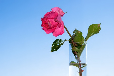 wizen: Withered rose in test-tube on background blue sky  Symbol of love ending