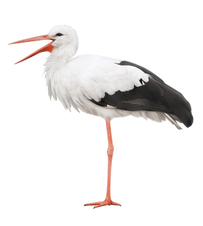 Stork on his long legs and an open beak  Symbol of pregnancy  photo