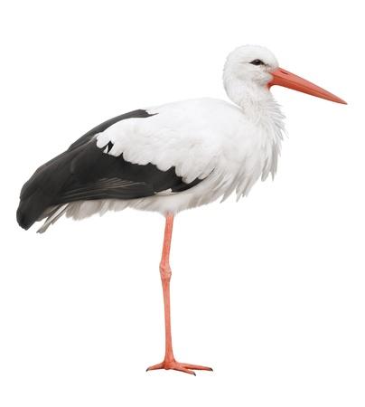 cicogna: Cicogna sul suo gambe lunghe Simbolo di gravidanza