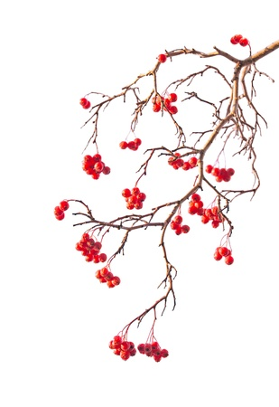 rowanberry: Branch of rowanberry with berry on white background in the style of Chinese painting