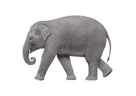 Elephant walking on a white background Stock Photo - 18440645
