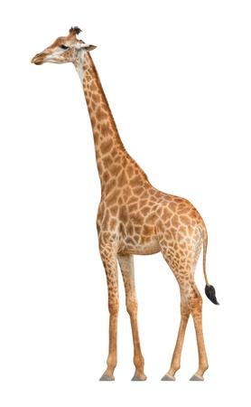 jirafa fondo blanco: Giraffe caminar sobre un fondo blanco Foto de archivo