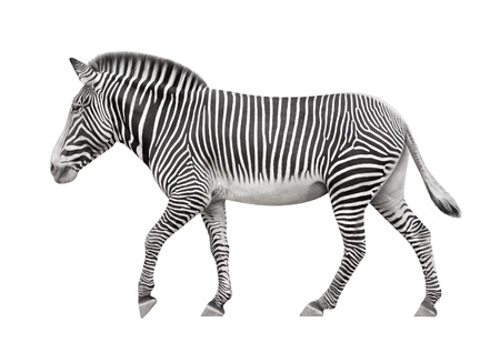 zebra walking on a white background photo
